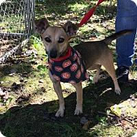 Adopt A Pet :: Giselle - Voorhees, NJ