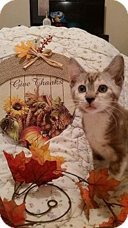 Siamese Kitten for adoption in Ocala, Florida - Bella