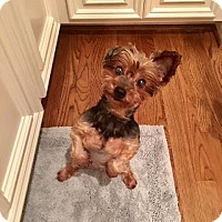 Yorkie, Yorkshire Terrier Mix Dog for adoption in Houston, Texas - Peaches