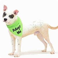 Adopt A Pet :: *DINGO - Orlando, FL