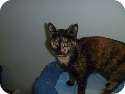 Domestic Shorthair Cat for adoption in Hamburg, New York - Princess Diana