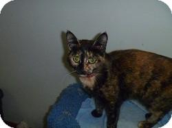 Domestic Shorthair Cat for adoption in Hamburg, New York - Princess Diana