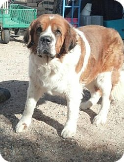 St. Bernard Dog for adoption in Glendale, Arizona - Nyla