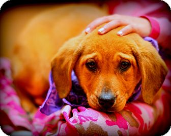 Labrador Retriever/Collie Mix Puppy for adoption in Sparta, New Jersey - Alone
