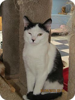 Domestic Shorthair Cat for adoption in Corinth, New York - Felix