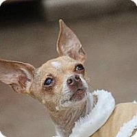 Chihuahua Dog for adoption in Benton, Louisiana - Betty Lou