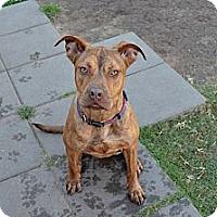 Adopt A Pet :: Tandi - Norman, OK