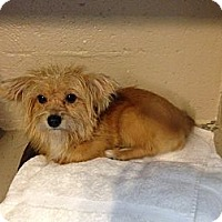 Adopt A Pet :: Scruffy Buffy - Pompano Beach, FL