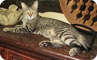 Domestic Shorthair Cat for adoption in Oviedo, Florida - Gardner