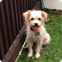 Adopt A Pet :: Poppy - adoption pending - Norwalk, CT