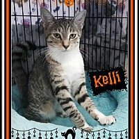 Domestic Shorthair Kitten for adoption in San Jose, California - GAP-Kelli
