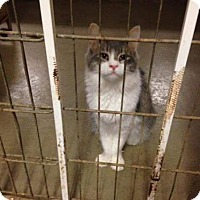 Domestic Shorthair Cat for adoption in Orland, California - Phillip