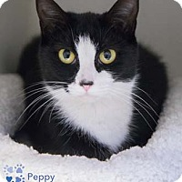 Adopt A Pet :: Peppy - Merrifield, VA