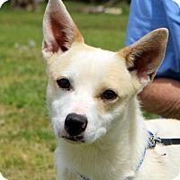 Adopt A Pet :: Cleo - Glastonbury, CT