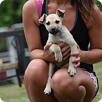 Adopt A Pet :: Carol Ann - Groton, MA