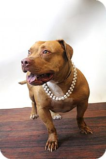 Pit Bull Terrier Dog for adoption in Rockwall, Texas - Aphrodite-Diamond Dog $75 Adoption Fee