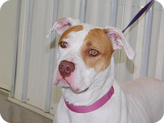 Pit Bull Terrier Mix Dog for adoption in Freeport, Illinois - Holly