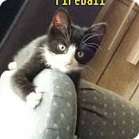 Domestic Shorthair Cat for adoption in Flint, Michigan - Fireball