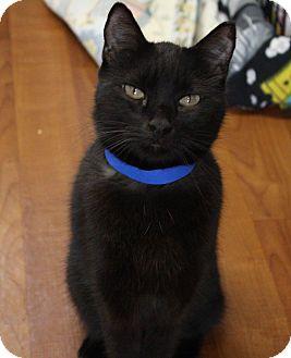 Domestic Shorthair Cat for adoption in Joplin, Missouri - Smokie