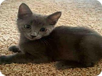 Domestic Mediumhair Kitten for adoption in Fort Walton Beach, Florida - WALLABY