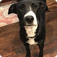 Adopt A Pet :: Oreo - Austin, TX
