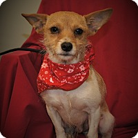 Jack Russell Terrier/Terrier (Unknown Type, Small) Mix Dog for adoption in Brattleboro, Vermont - BJ ~ DOB 11/2015!
