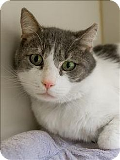Domestic Shorthair Cat for adoption in Albuquerque, New Mexico - Mr. Bull