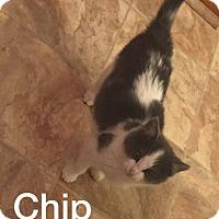 Adopt A Pet :: Chip - Irwin, PA
