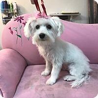 Adopt A Pet :: Dolly - Las Vegas, NV