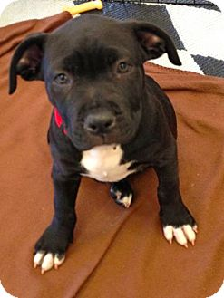 Labrador Retriever/American Pit Bull Terrier Mix Puppy for adoption in Phoenix, Arizona - Celine