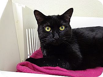 Domestic Shorthair Cat for adoption in Grayslake, Illinois - Opacity