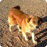 Collie Mix Dog for adoption in Tonopah, Arizona - Ginger