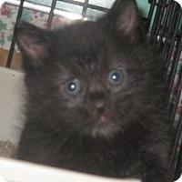 Adopt A Pet :: Little Bear - Dallas, TX