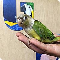 Adopt A Pet :: Pippa - Woodbridge, NJ