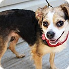 Adopt A Pet :: Yawkey (fka Sadie) *Has Application*