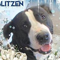Adopt A Pet :: BLITZEN-$30/Chipped - Red Bluff, CA