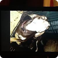 Adopt A Pet :: Dobie Mommy - springtown, TX
