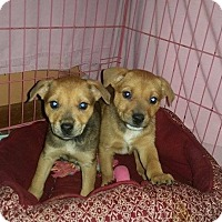 Adopt A Pet :: male mixed breed puppies - mooresville, IN