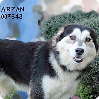 Adopt A Pet :: Carson - Sugar Land, TX