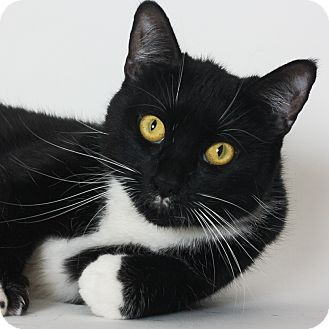Domestic Shorthair Cat for adoption in Stockton, California - Gracie