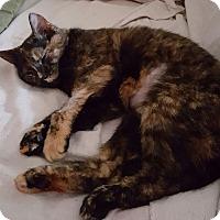 Domestic Shorthair Cat for adoption in Marietta, Georgia - Pumpkin