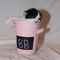 Domestic Shorthair Kitten for adoption in Fredericksburg, Virginia - BB