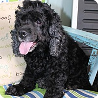 Cocker Spaniel Dog for adoption in Andover, Connecticut - SASSY
