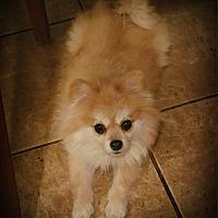 Adopt A Pet :: Tanzy - conroe, TX