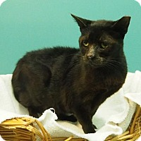 Domestic Shorthair Cat for adoption in New Orleans, Louisiana - Bacchus