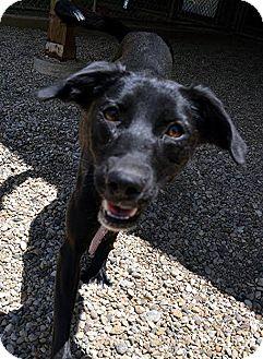 Labrador Retriever Mix Dog for adoption in Lacon, Illinois - Flo