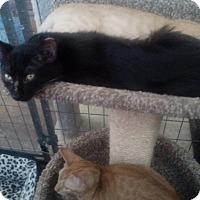 Adopt A Pet :: Ebony - YOUNGTOWN, AZ