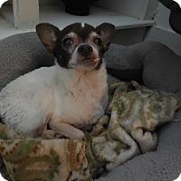 Chihuahua Dog for adoption in Palm Bay, Florida - Olive senior to senior program