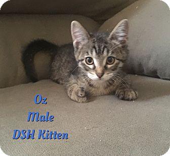 Domestic Shorthair Kitten for adoption in Cheney, Kansas - Oz