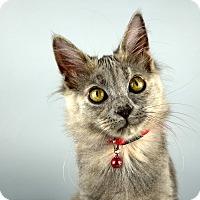 Adopt A Pet :: Chowder - Columbia, IL